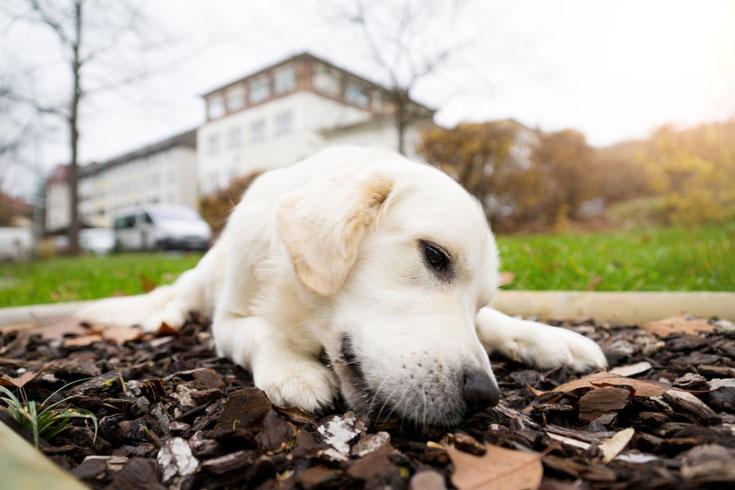 Therapiehund Gorni